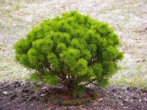 Использование вечнозелёных растений в оформлении участка.