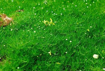 Мшанка ирландский мох.
