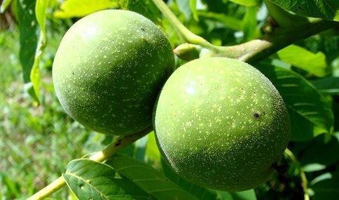 Размножение грецкого ореха семенами