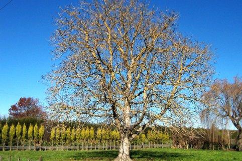 Старое ореховое дерево без обрезки