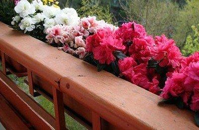 Плетистая роза на балконе.