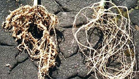 Нематоды на корнях растений