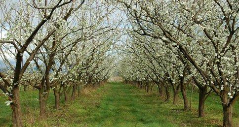 Как правильно сажать саженцы фруктовых деревьев