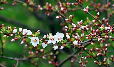 Размножение войлочной вишни.