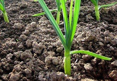 Как вырастить озимый чеснок