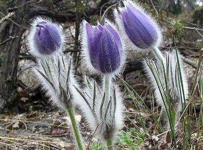 Растение сон-трава.