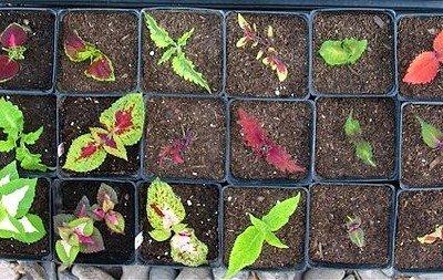 Выращивание колеусов из семян