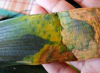 Удаление больных листьев с комнатных растений