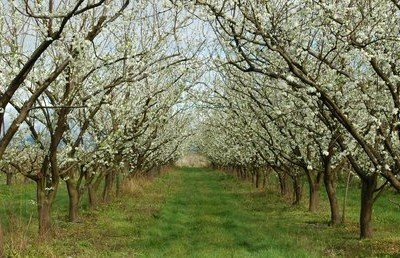 Как правильно посадить саженцы фруктовых деревьев